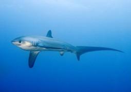 Treffen mit dem Fuchshai